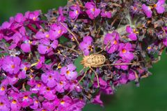 European Harvestman - Phalangium opilio. European Harvestman resting on a Butterfly Bush flower. More commonly known as a daddy Long Legs. Rosetta McClain royalty free stock photo