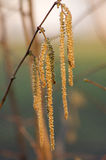 European hazel (Corylus avellana) flower. Royalty Free Stock Images