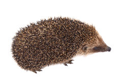 European Hedgehog Royalty Free Stock Image