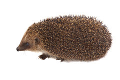European Hedgehog Stock Photos