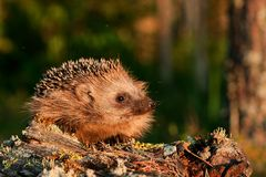 European hedgehog in natural habitat royalty free stock photography