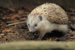European hedgehog Stock Images