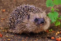 European hedgehog Stock Image