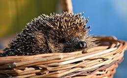 European hedgehog in basket Stock Photo