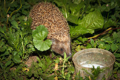 European Hedgehog, Erinaceus europaeus Royalty Free Stock Photo