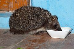 European Hedgehog, Erinaceus europaeus Stock Images