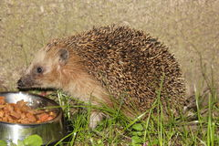 European hedgehog (Erinaceus europaeus) Royalty Free Stock Photo