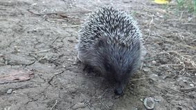 The European hedgehog Erinaceus europaeus, also known as the West European hedgehog. Or common hedgehog stock footage