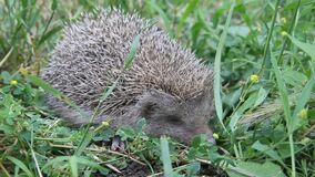 European Hedgehog  in the grass. The European hedgehog Erinaceus europaeus, also known as the West European hedgehog or common hedgehog stock video footage