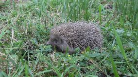 European Hedgehog  in the grass. The European hedgehog Erinaceus europaeus, also known as the West European hedgehog or common hedgehog stock video