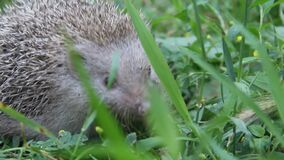 European Hedgehog  in the grass. The European hedgehog Erinaceus europaeus, also known as the West European hedgehog or common hedgehog stock footage
