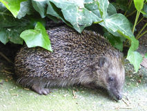 European Hedgehog - Erinaceus europaeus. This cute European hedgehog was photographed amidst the ivy on my enchanted terrace Royalty Free Stock Photography