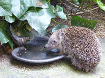 European Hedgehog - Erinaceus europaeus. This cute European hedgehog was photographed drinking at the birdbath on my enchanted terrace Stock Images