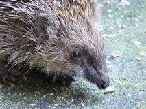 European Hedgehog - Erinaceus europaeus. This cute European hedgehog was photographed on my enchanted terrace Stock Image