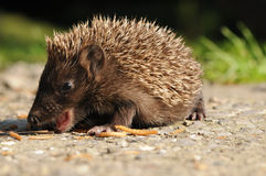 European hedgehog (Erinaceus europaeus) Stock Images