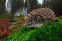 European Hedgehog, Erinaceus europaeus, on a green moss at the forest, photo with wide angle Royalty Free Stock Image