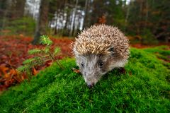 European Hedgehog, Erinaceus europaeus, on a green moss at the forest, photo with wide angle. Hedgehog in dark wood, autumn image. Stock Photo