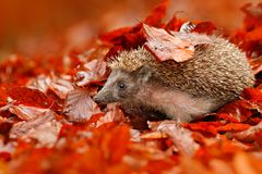 European Hedgehog, Erinaceus europaeus, on a green moss at the forest, photo with wide angle. Hedgehog in dark wood, autumn image. royalty free stock image