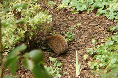 European hedgehog (Erinaceus europaeus) looking for cover. European hedgehog or Common hedgehog (Erinaceus europaeus) looking for cover. Bavaria, Germany Royalty Free Stock Image