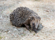 The European hedgehog (Erinaceus europaeus) Stock Images