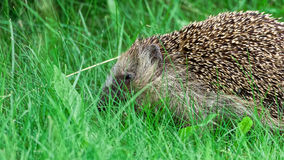 European hedgehog (Erinaceus europaeus) Royalty Free Stock Images