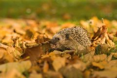 The European hedgehog, Erinaceus europaeus stock photo