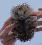 European hedgehog (Erinaceus europaeus) Royalty Free Stock Photo