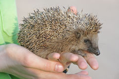 European hedgehog (Erinaceus europaeus) Stock Photography