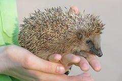 European hedgehog (Erinaceus europaeus) Stock Photography