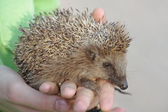 European hedgehog (Erinaceus europaeus) Royalty Free Stock Photos