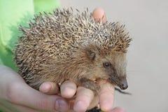 European hedgehog (Erinaceus europaeus) Royalty Free Stock Photos