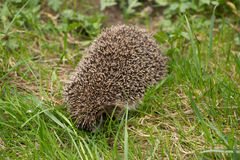 European hedgehog among green grass Stock Image