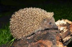 European hedgehog Royalty Free Stock Photo