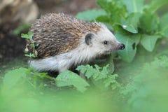 European hedgehog. Strolling on the soil Stock Images