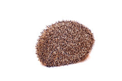 European hedgehog on white background Royalty Free Stock Images