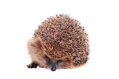 European hedgehog on white background Stock Photo
