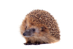 European hedgehog on white background Stock Images