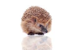 European hedgehog on white background Stock Images