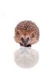 European hedgehog on white background Stock Image