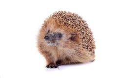 European hedgehog on white background Royalty Free Stock Image