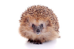 European hedgehog on white background Stock Photos