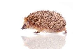 European hedgehog on white background Royalty Free Stock Photos
