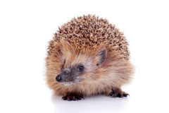 European hedgehog on white background Stock Photography