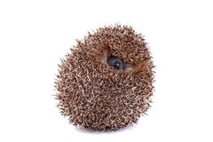 European hedgehog on white background Royalty Free Stock Photo