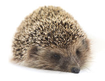 European hedgehog on white background Royalty Free Stock Photography