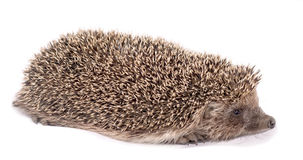 European hedgehog on white background Royalty Free Stock Image