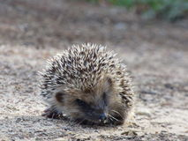 European hedgehog Stock Photos