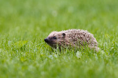 European hedgehog. Young European hedgehog (Erinaceus europaeus) sniffing the air on dewy lawn Royalty Free Stock Image