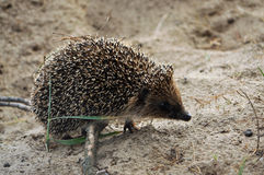 The European hedgehog. A young hedgehog for a walk on the sandy edge of the forest Royalty Free Stock Photo