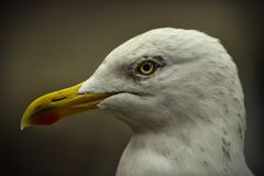 Free European Herring Gull Stock Photo - 133045830